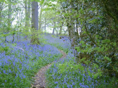 Bluebell woods. (Photo credit: Wikimedia commons).