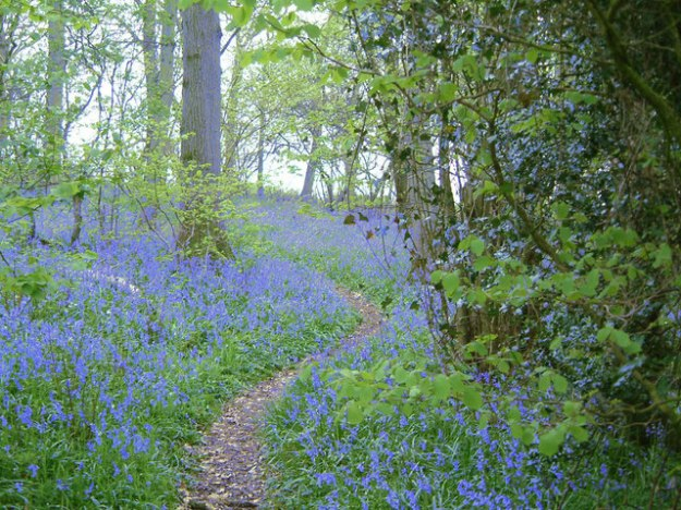 bluebell_woods_-_geograph-org-uk_-_356372