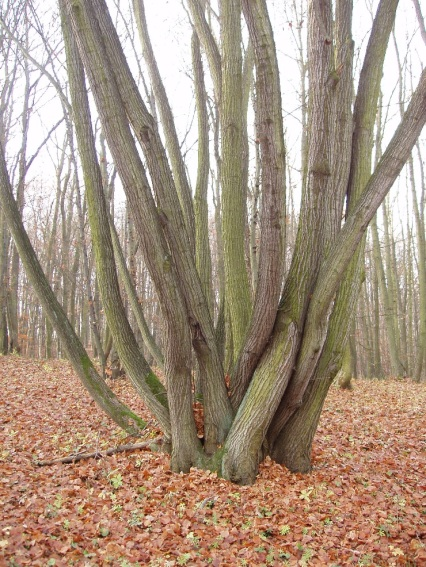 coppiced-forests