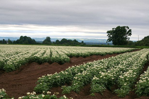 800px-potato_fields_865833262_23b6d0c2ea_o