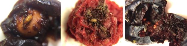 larval-damage-r