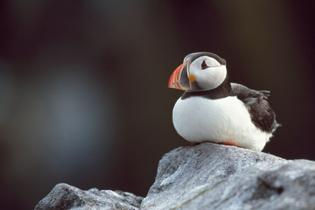 puffin2_andyhayrspb-images