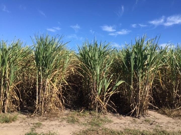 sugarcane_field_queensland-jpg