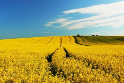 Oilseed rape crops. © Brian Robert Marshall, licensed for reuse.