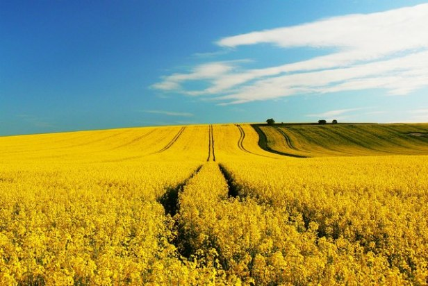 oilseed-rape