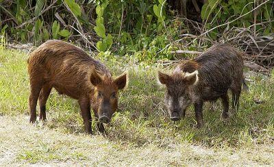 wild-pigs