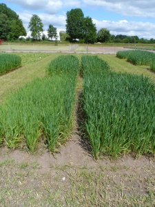 3. oat responses to cc mixtures May 2015