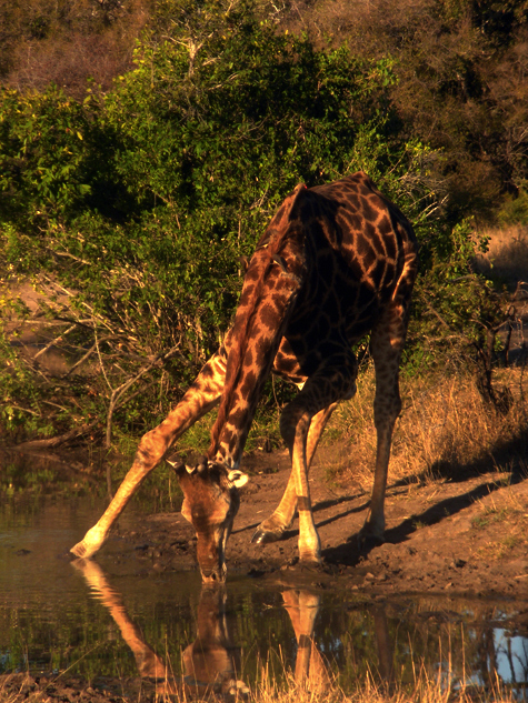 Giraffe_Jeremy Cohen