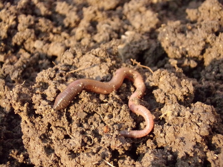 Earthworm (Copyright free)