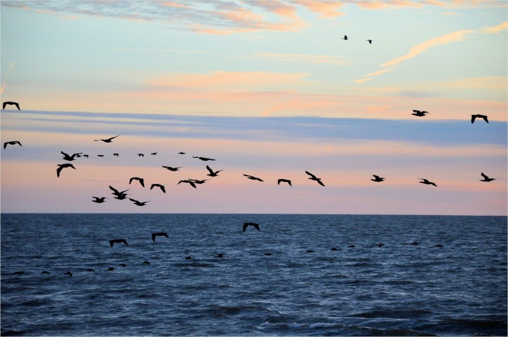 cormorant-13803157233Cn