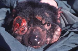 Tasmanian_Devil_Facial_Tumour_Disease - Margaret Stanley