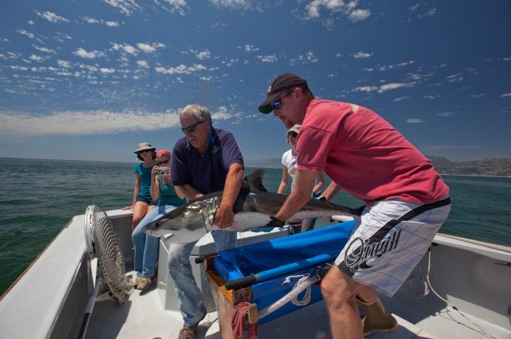 Juvenile white shark tagging-Kevin Weng