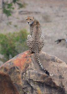 Cheetah on rock Croc Bridge 94 - Matt Hayward