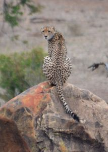 Cheetah on rock Croc Bridge 94 - Matt Hayward