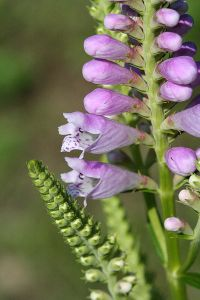 Physostegia_virginiana_9495