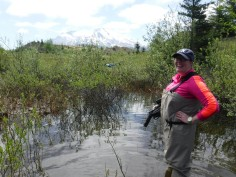 Angela Strecker sampling ponds at Mount St Helens National Volcanic Monument (USA) that were created by the 1980 eruption. She's interested in the successional patterns of communities in these newly formed habitats.