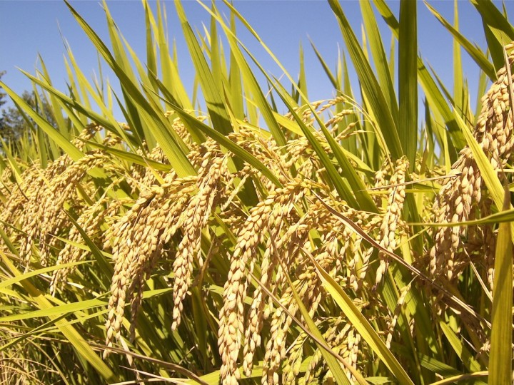 Mature rice panicles