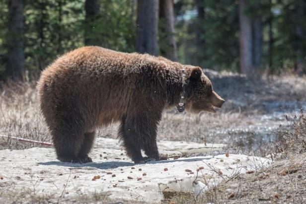 Bear w. collar
