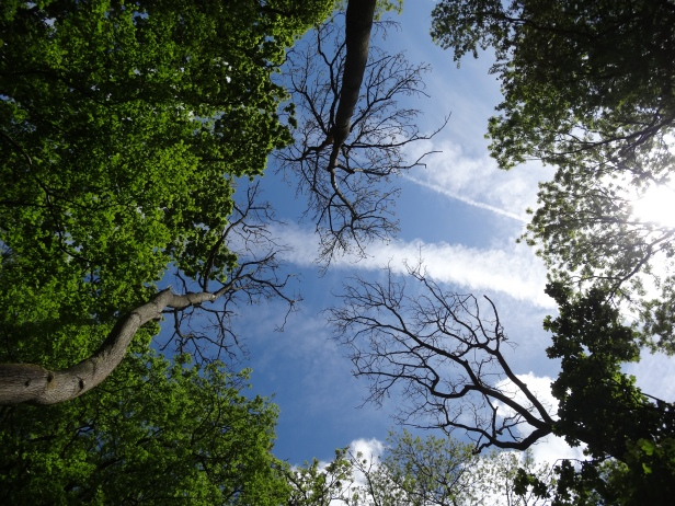 canopy gaps due to ash dieback - louise hill