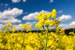 oilseed-rape-642406_960_720