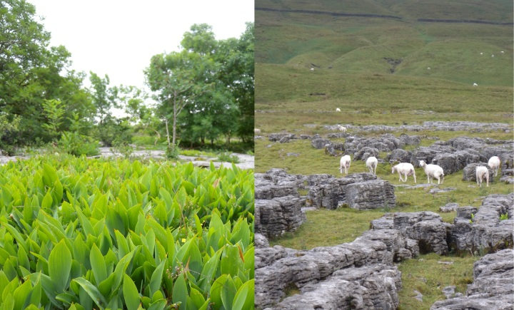 Carver - inside and outside fence - Scar Close, Yorkshire Dales