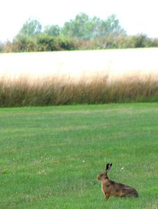 453px-Brown_hare_(Lepus_europaeus)_in_hay_field_-_geograph.org.uk_-_1411337