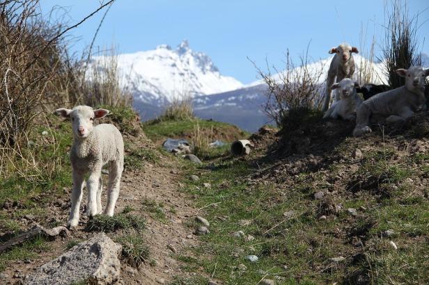 sheep-2223275_960_720