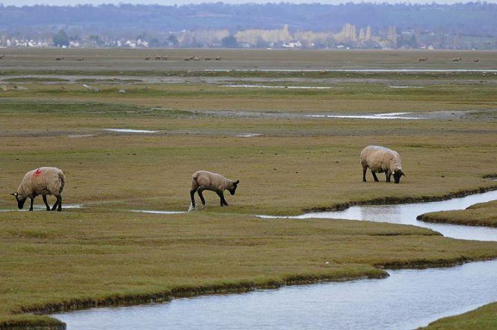 Sheep_in_salt_marsh_meadows_(25879658463)_Bernard Dupont