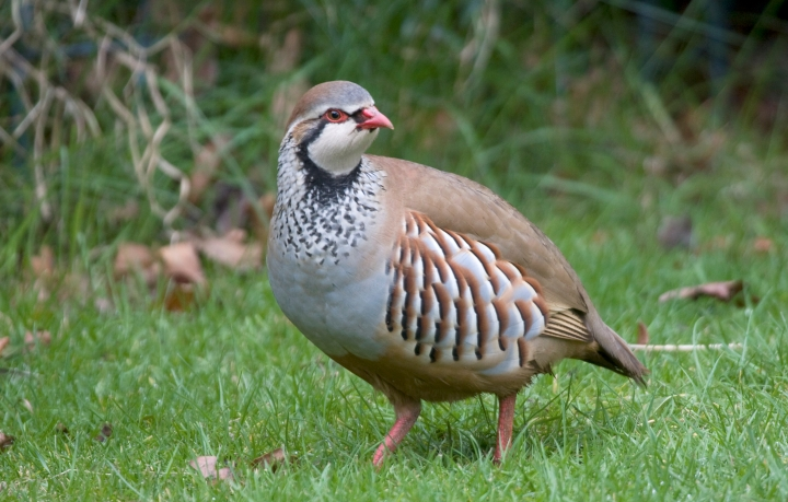 002873-Red-legged Partridge-Harding