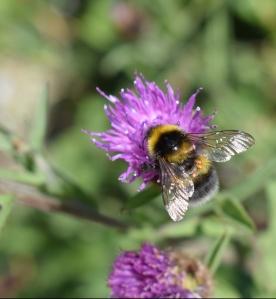 Pollinator1_bumblebee