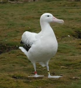 Wandering albatross w. geolocator_Richard Phillips