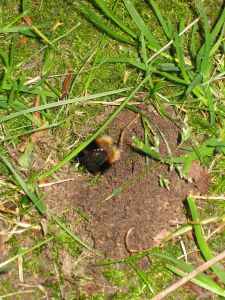 Bumble_bee_nest_hole