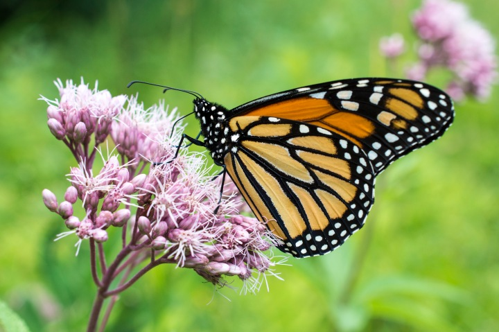 D71_4234 Monarch on Joe Pye weed