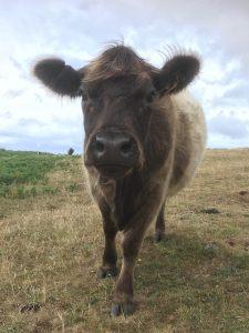 Cow_CallyHam