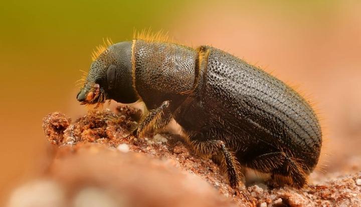 European spruce bark beetle - Gilles San Martin