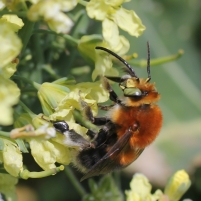 A male Habropoda tarsata foraging on a Brassica rapa variety for the fresh market. Counting bees is useful and enjoyable. Photo by David Kleijn