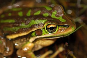 Green&Golden_Bell_Frog_(Litoria_aurea)_(8398142360)_Matt_Melbourne_Australia_Wikimedia