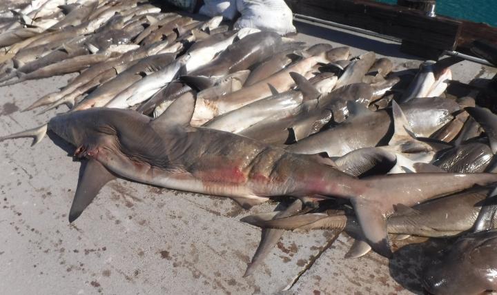 Seized_sharks_BIOT