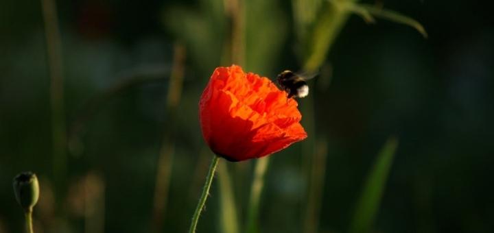 Bumblebee on poppy_Batary