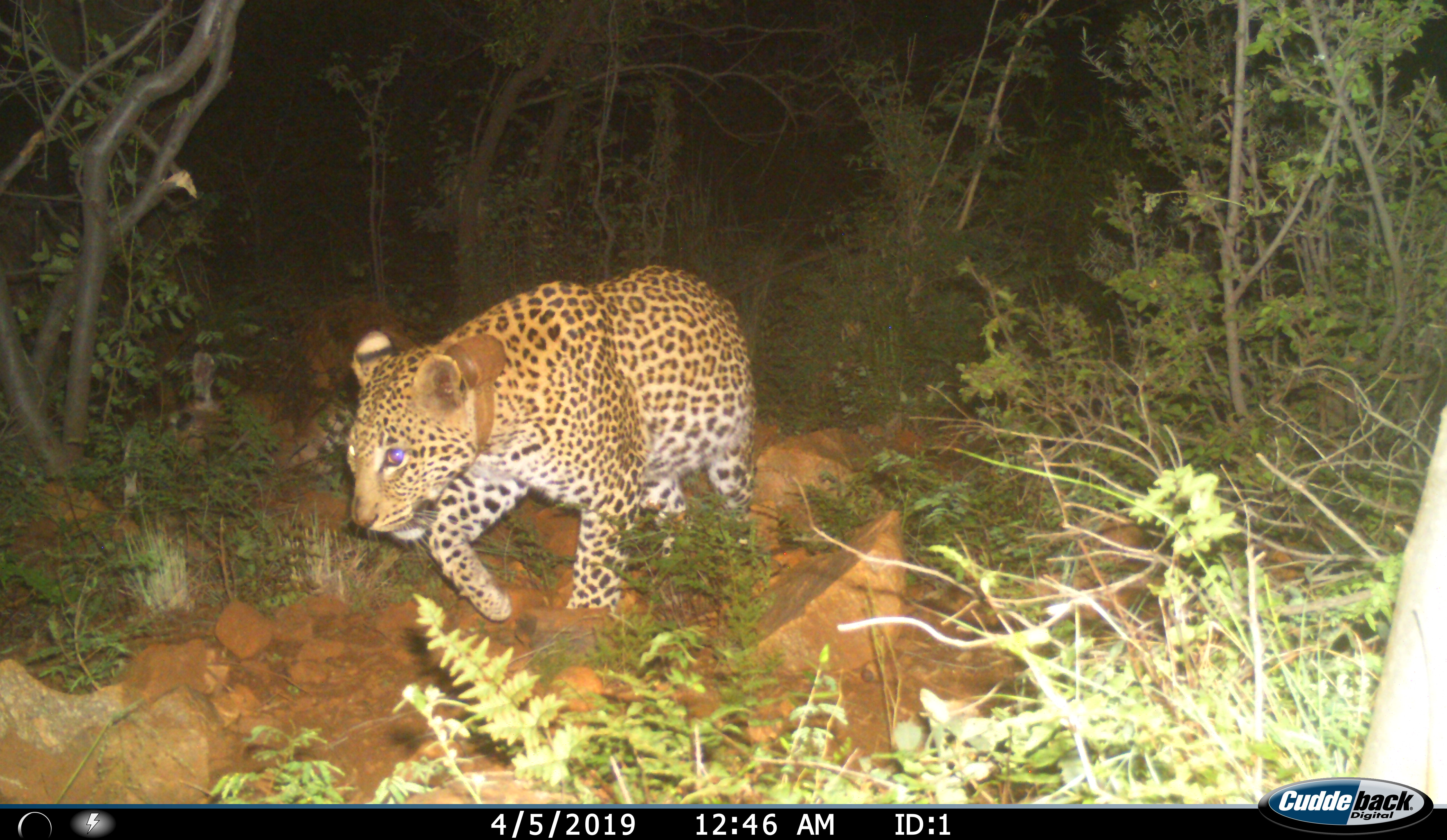 9_GPS cluster follows are useful to assess condition of leopards and collar fit